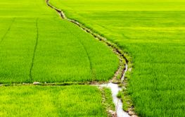 rice fields channel