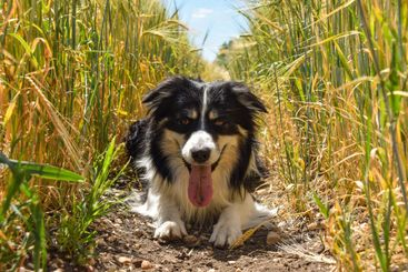 Border collie is lying in the field.