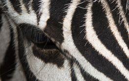 striped snout black and white Zebra