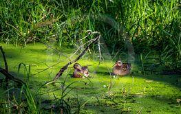 Änder i grönt vatten