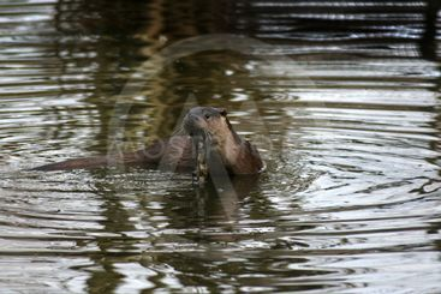Fish otter