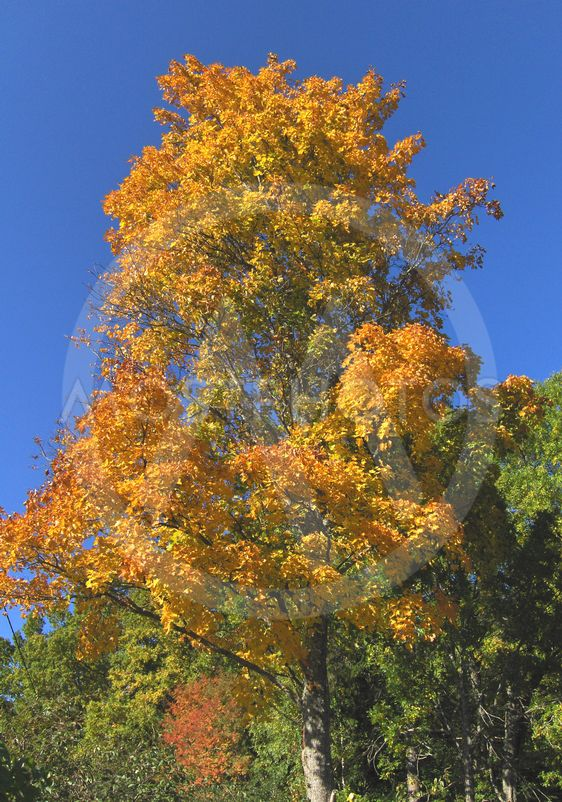 A maple against blue sky in the autumn.