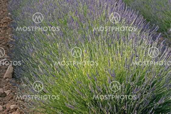 Fields of Lavender, Provence