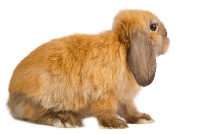 orange rabbit isolated