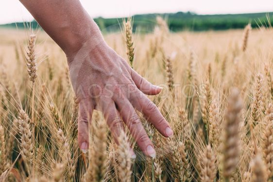 Woman's hand through the wheat in sunset