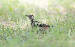 woodpecker sitting in green grass
