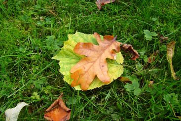 Yellow, green, brown leaves on a green grass