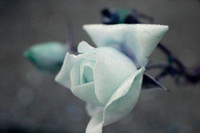 Blue Rose Dew I
