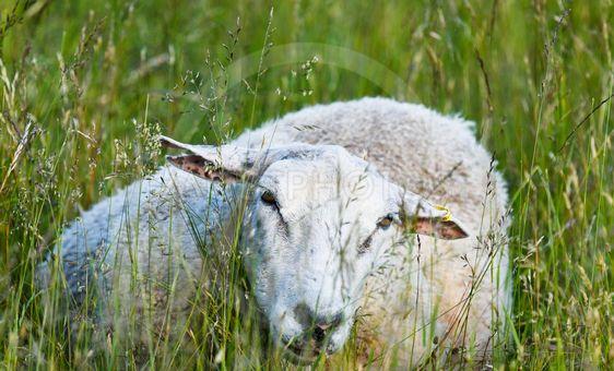 Får som ligger i gräset