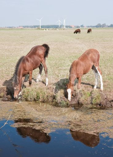 Drinking horse with her foal