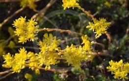Blommande solbelysta gula fetknopps blommor