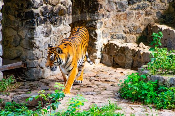 Big tiger on a background of stones.