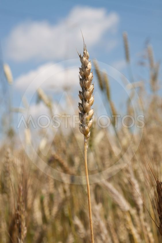 wheat over sky