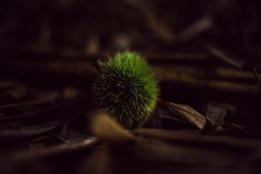 chestnut hedgehog on the mood forest floor