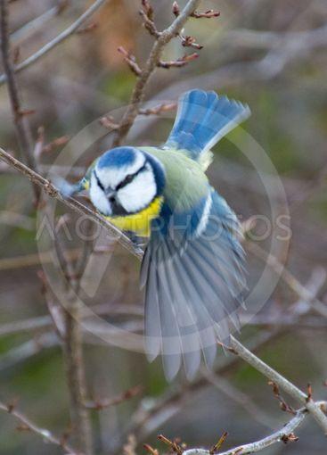 talgoxen flyger