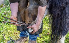 Farrier working on the hooves of a Shetland Pony