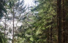 Mossig väg genom en granskog