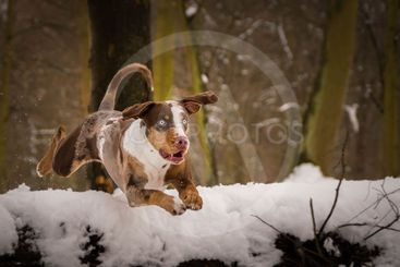 Photo of Catahoula Leopard Dog in jump.
