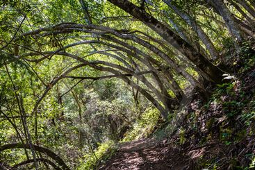 Hiking trail lined up with Bay Laurel trees (Californica...