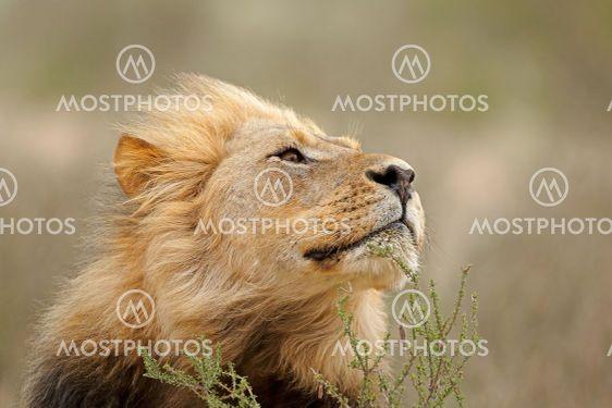 African lion portrait - Kalahari desert