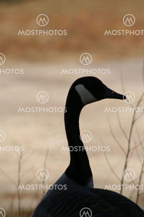 Canada Goose 5