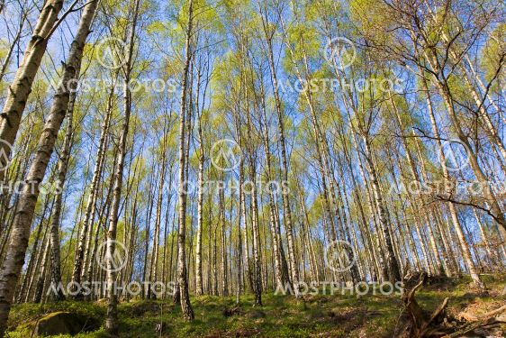 Spring birch tree forest