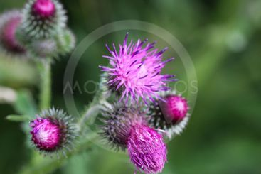 Carduus acanthoides, known as the spiny plumeless...