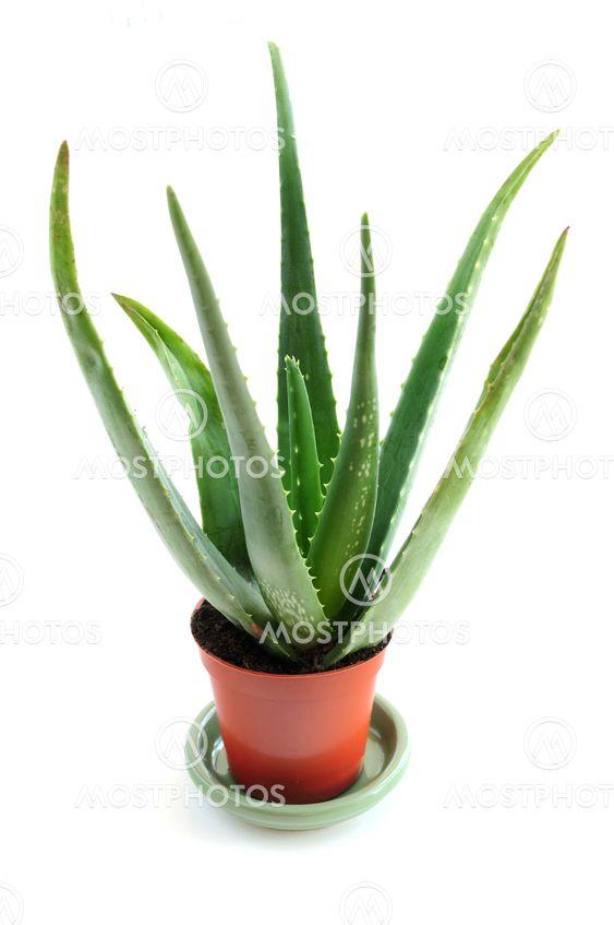 Myös Aloe kasvien