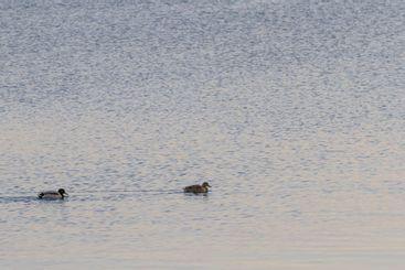 Två gräsänder simmar i skymningen - Silvertid