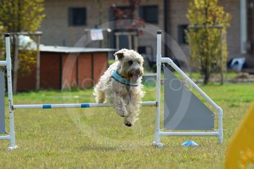 Spanish Water dog in agility