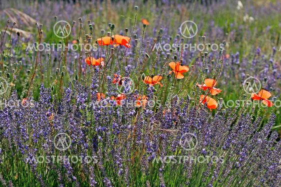 Lavender field with poppies, Provence.