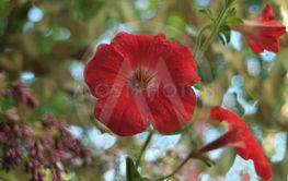 large petals red petunia flower