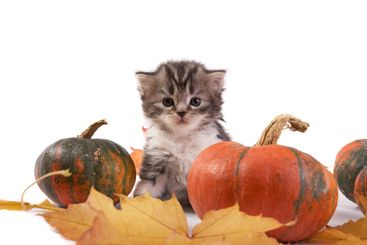 Kitten and pumpkins on a white background