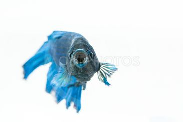 Betta fish with open mouth