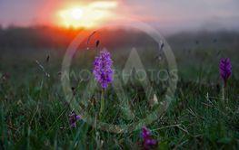 Orkide i solnedgång