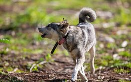 Hunting dog aka Elkhound or Moosehound - hunting in the...