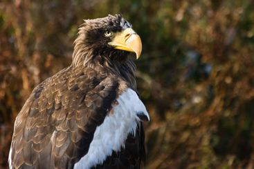 Steller's Sea Eagle with autumn background