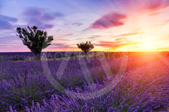 Sunset over a summer lavender field in Valensole