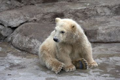 The small polar bear sits on stones