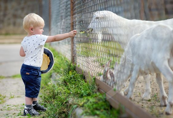 Toddler boy feeding goat