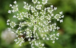 Queen Anne's Lace or Daucus Carota Blossom