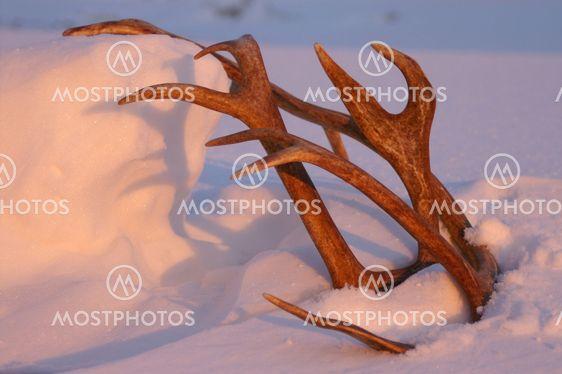 Reindeer horn