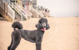 Pretty groomed grey standard poodle dog