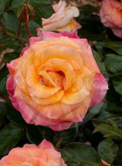 Daybreaker Rose