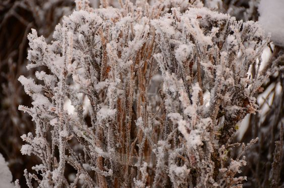 Frostnupen