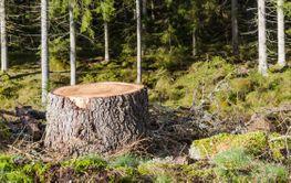 Närbild av stubbe i granskogen