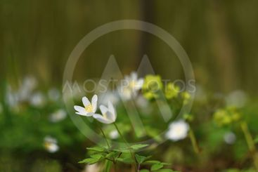 Spring white flowers in the grass Anemone (Isopyrum...
