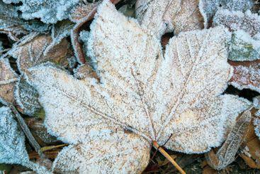 Rime ice on leaves