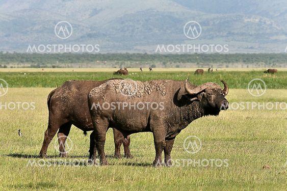 Buffalo (Syncerus caffer caffer)