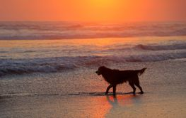 Dog on scenic beach at sunset